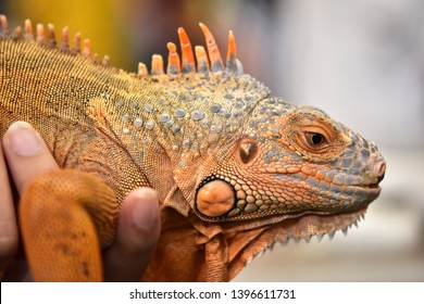 Iguana (iguana) is a lizard reptile in the genus Iguana in the iguana family (Iguanidae).It is more than 20 centimeters long, Popular as pets and popularly eating meat as a local food.