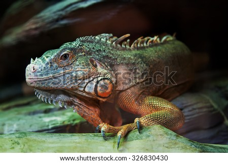The iguana lizard sits on a close-up branch