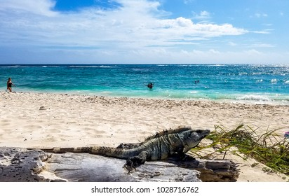 Iguana in Mexico on the beach, Yucatan