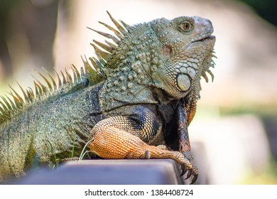 The iguana in nature (Sauropsida)