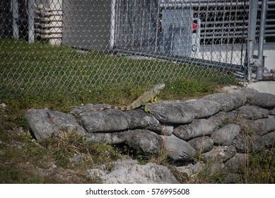 An iguana near a canal in an industrial area of Miami.