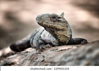 Iguana negro lying on the branch