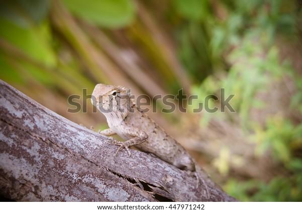Iguana in North-Eathern of Thailand (Lacertilia sp.)