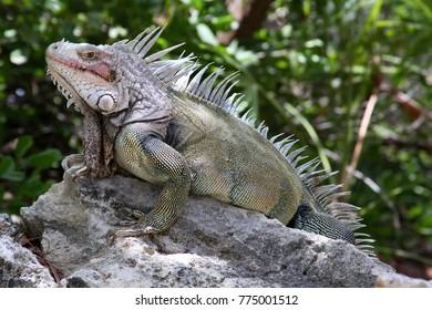Iguana on a Bahama Island.