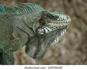 Iguana on a beach
