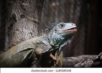 iguana, Iguana (Iguana iguana) on branch.