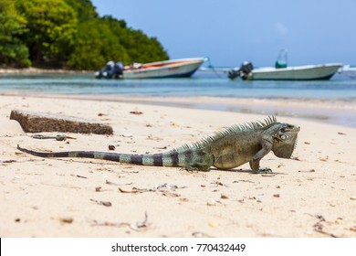 Iguana on a carribean beach in Guadeloupe