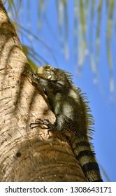 Iguana on Guadeloupe on the palm tree