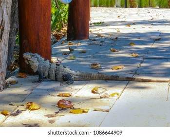 Iguana on the road in Mexico.