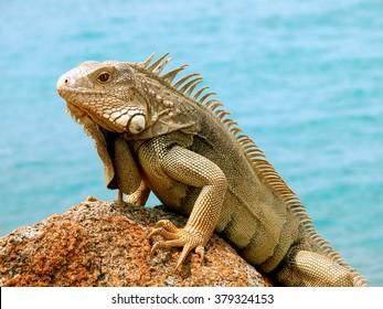 Iguana on the rock posing