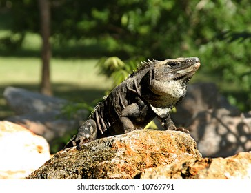 Iguana on stone in mayan site with tree