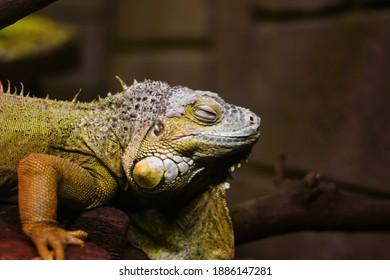 iguana on a tree .