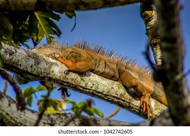 An iguana on a tree branch in San Ignacio, Belize