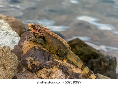 Iguana over rocks heating by the sun.