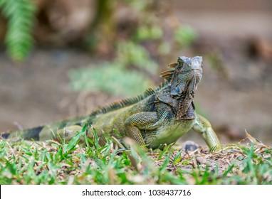 Iguana in Panama