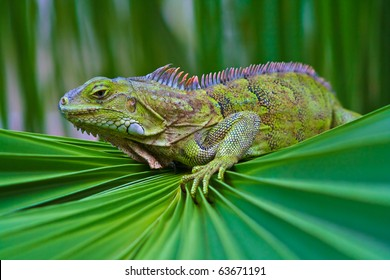 Iguana perched on a palm frond