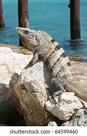 Iguana perched on rock overlooking blue sea
