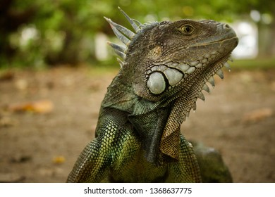 iguana portrait looking right