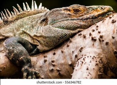 The Iguana.  A portrait shot of an iguana showing the skin texture.