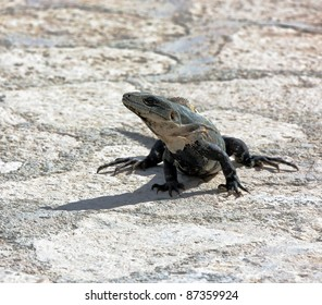 A iguana relaxes on stone tiles park in the sun - Xcaret, Mexico