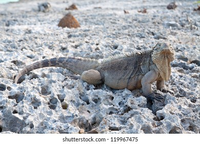 Iguana reptile standing at the sun on the rocks