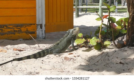 Iguana resting on the sand in La Caravalle beach, Guadeloupe. Lesser Antilles, Caribbean sea