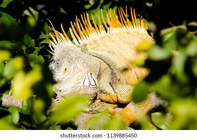 Iguana resting on a tree branch surrounded by leaves
