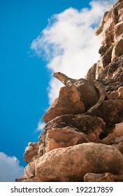 Iguana in ruins of mayan city of Uxmal