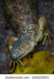 Iguana shallow depth of field with focus on the animal's eye