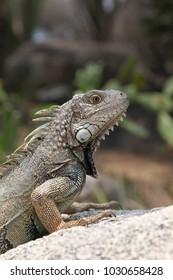 Iguana sitting on a rock in the countryside, Aruba, Caribbean.