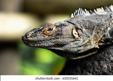 Iguana sitting in the sun in Costa Rica