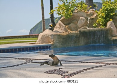 An Iguana sunning himself by the pool in Mexico