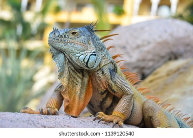 Iguana taking the sun and posing to the camera