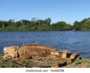 Iguana in Tortuguero, Costa Rica