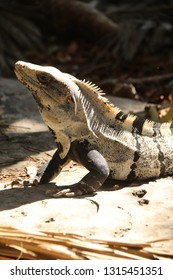Iguana in Tulum, Mexico.