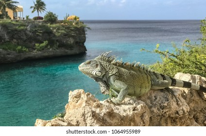 Iguana  Views around the small Caribbean island of Curacao