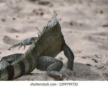 Iguana walking away on the beach