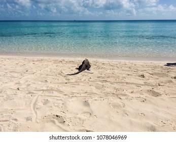 Iguana walking to the water in the beach. Exuma, Bahamas