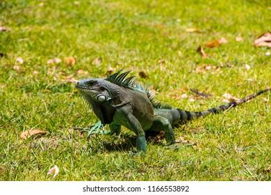 Iguana in wild