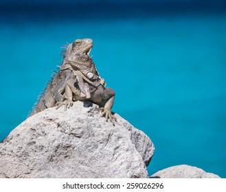 Iguanas against the ocean, Bonaire, Netherlands Antilles