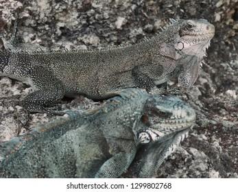 Iguanas couple on a rock