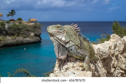 Iguanas  Curacao a small island in the Caribbean
