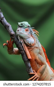 iguanas, iguanas and dumpy frogs on tree branches