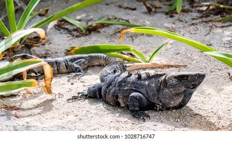 Iguanas in Mexico on the beach, Yucatan