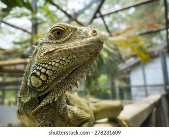 Iguanas in San Ignacio, Belize