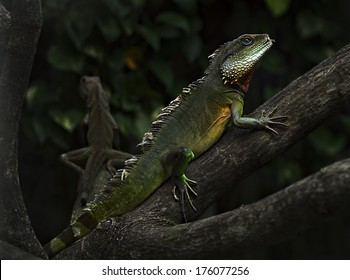 Iguanas They are at a critical crossroads and some are perilously close to vanishing from the earth forever. Without your help, these truly amazing ancient reptiles will disappear forever.