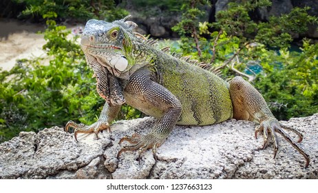 Iguanas - Views around the Caribbean isalnd of Curacao
