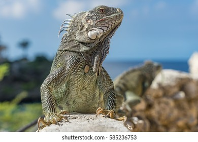 Iguanas - Views around Curacao a small Caribbean Island