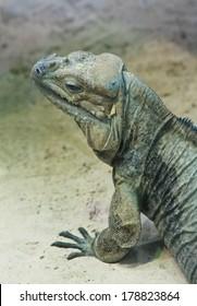 Iguana.Vensky zoo. Austria