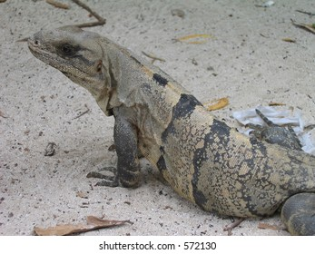 Iguana,Xaret park,Mexico